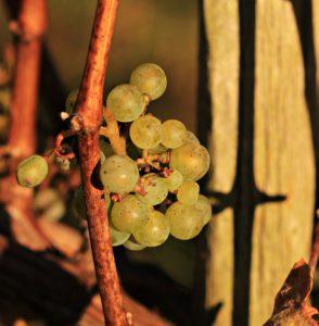 vinifika-grape
