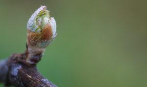 Vinifika-spring-tasting-bud-break