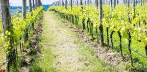 slider-vineyard-1