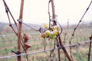 vinifika-duurzame-wijn-druif