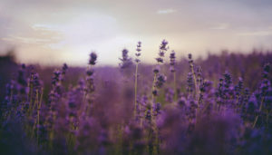 vinifika-cover-lavender-field