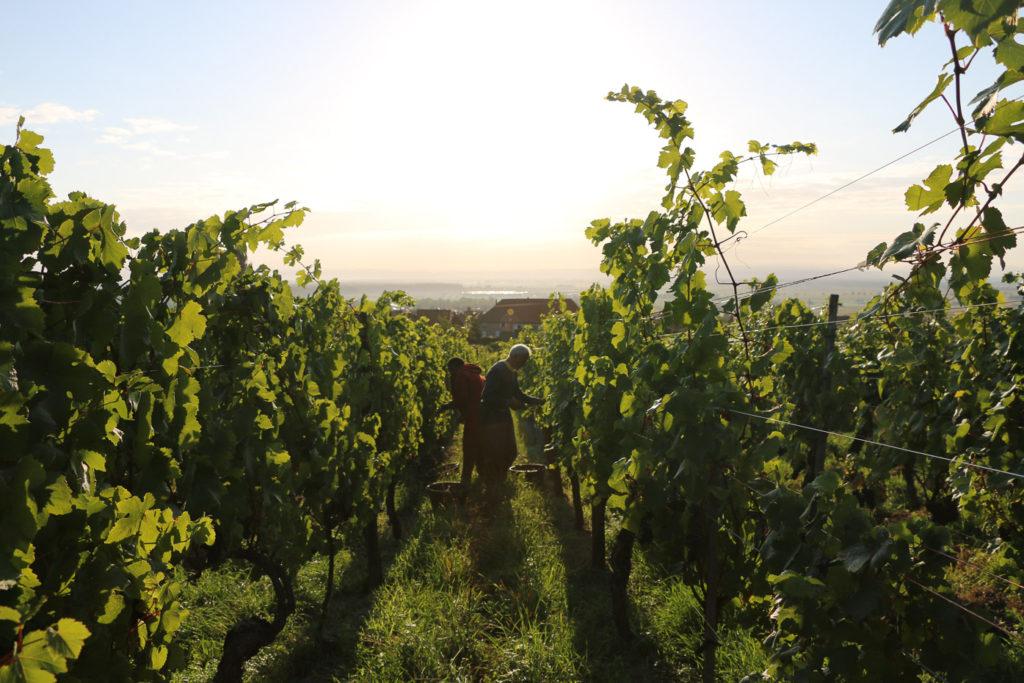 vinifika-oogst-ochtend-florianbeckhartweg