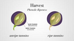 vinifika-phenolic-ripeness