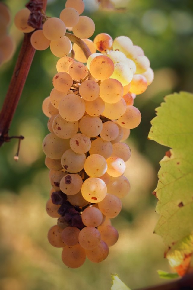 vinifika-auxerrois